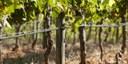 Sogrape Vinhos desenvolve sistema inovador para deteção de castas in situ (Produtores de Vinho)